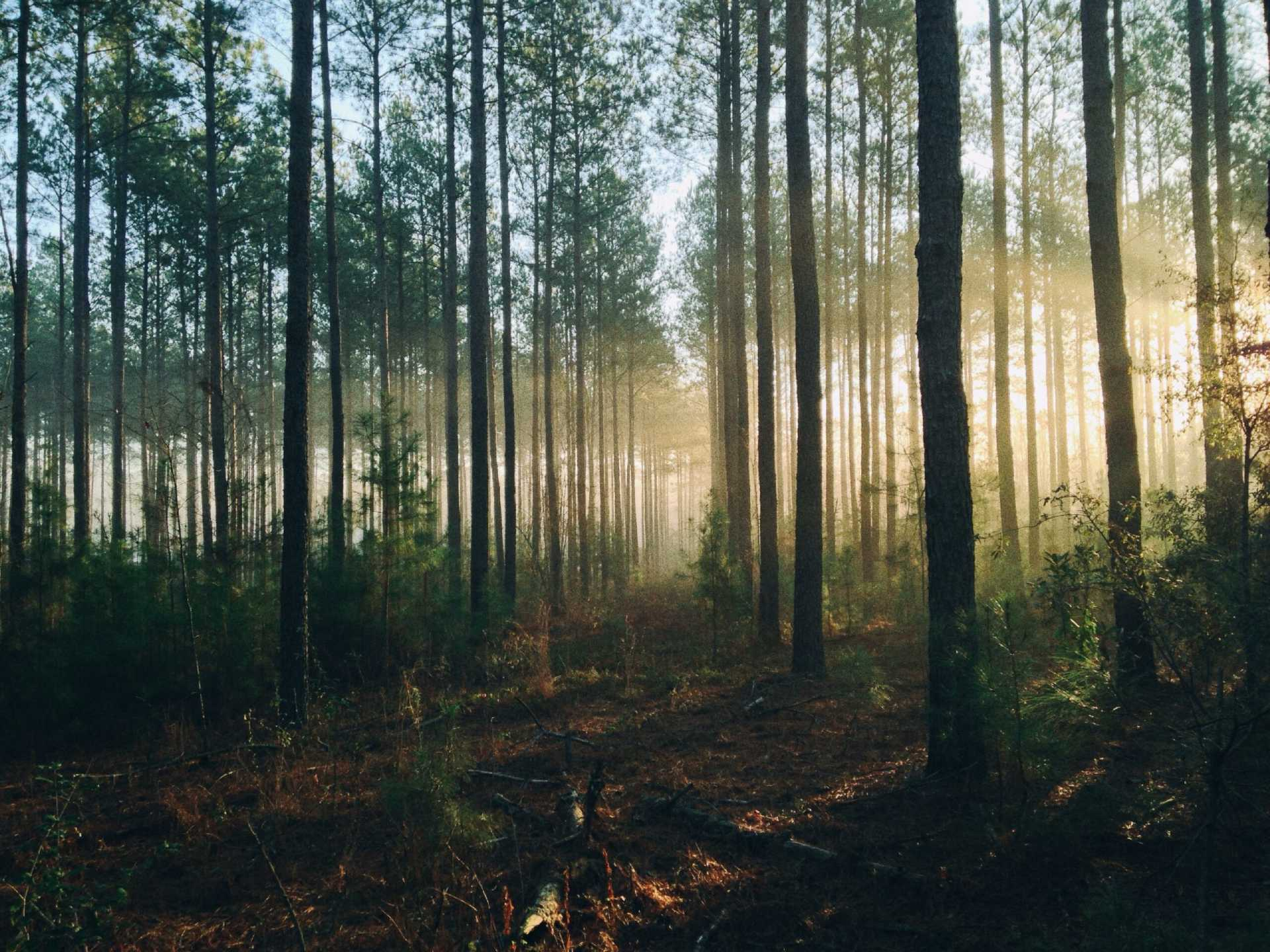 forest in the dawn